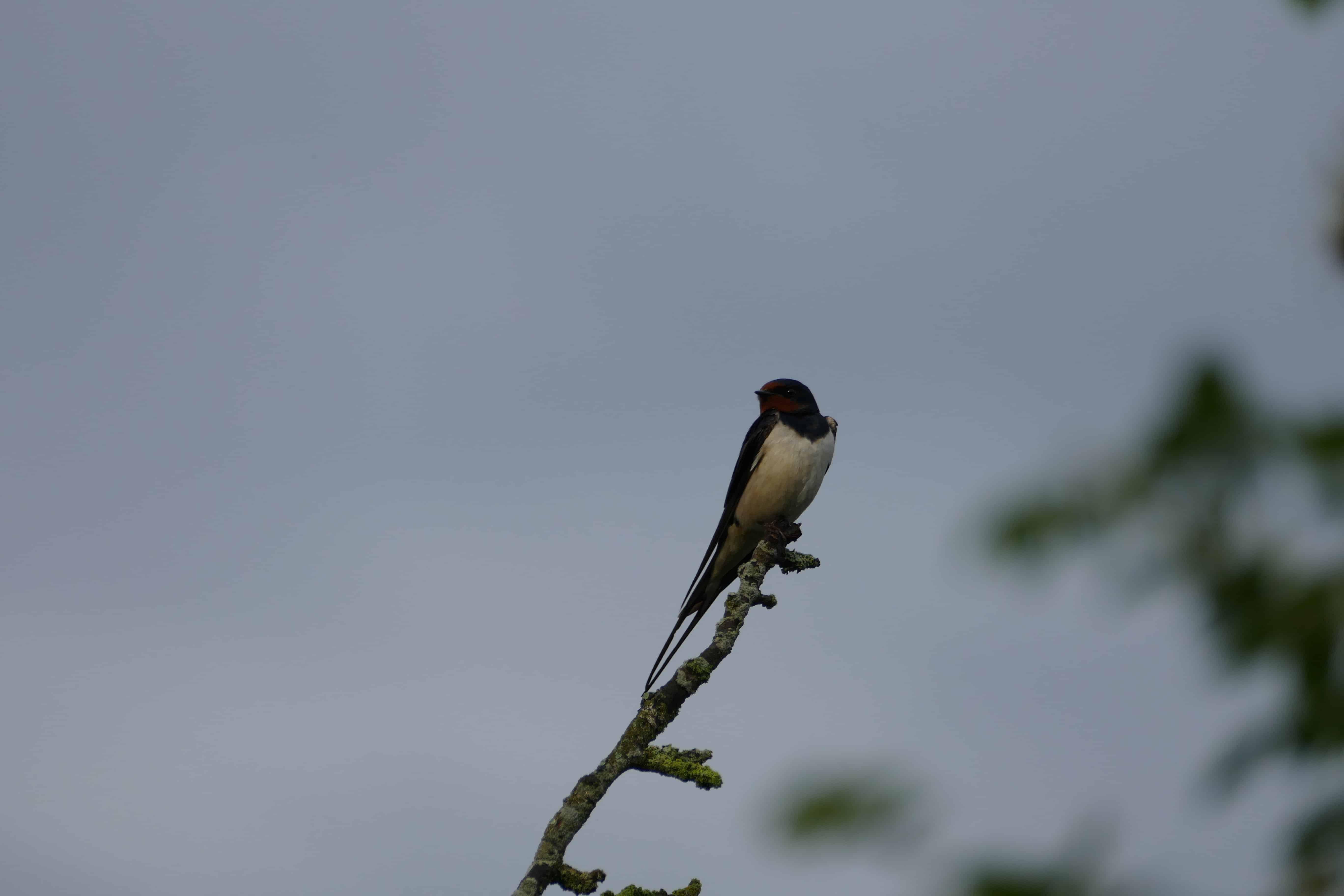 Zwaluw